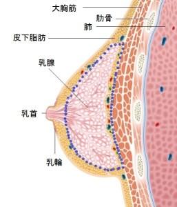 胸オペでは、乳腺組織のみを切除し摘出する。