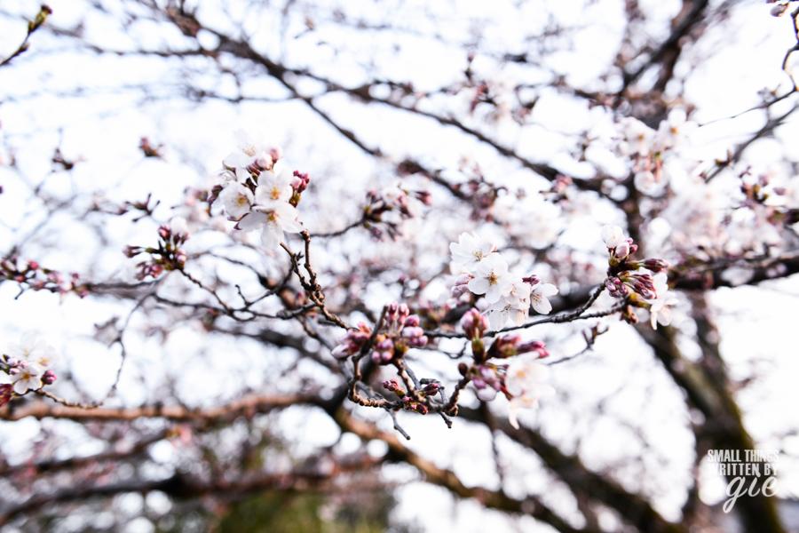Sakura Philosopher Path