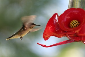 Hummingbirds will defend feeders