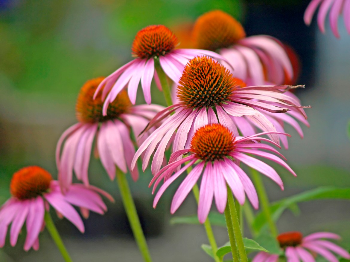 A blooming coneflower, medicine plant of the american native