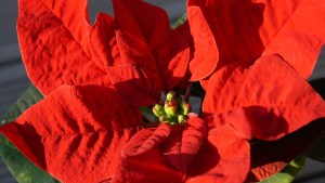 Gorgeous poinsettias are one of the richest Christmas traditions.