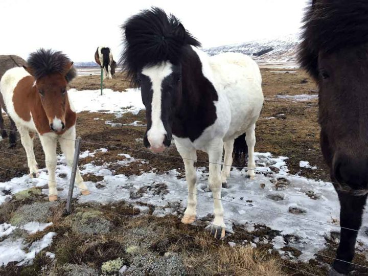 Islandpferde Fahrt entlang der Ostküste - Roadtrip Islands Ostküste www.gindeslebens.com © Ines Erlacher und Thomas Mussbacher