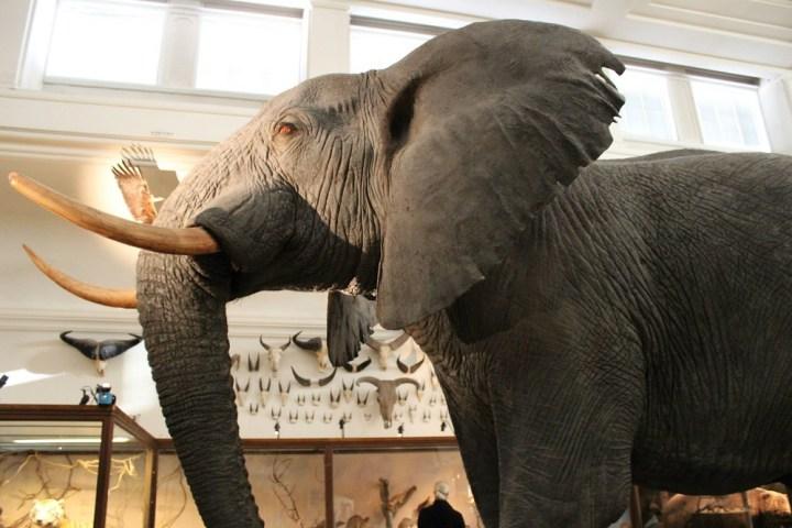 Elefant Naturhistorisches Museum Göteborg Schweden © www.gindeslebens.com