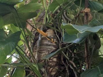 Schlange gelbe Greifschwanz-Lanzenotter Almonds and Corals Costa Rica www.gindeslebens.com