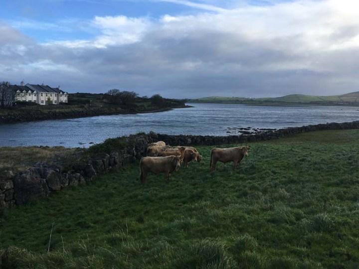 Kühe Irland und Nordirland Roadtrip www.gindeslebens.com
