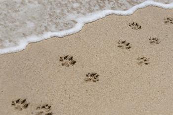 76b9eb823 Paw prints in the Sand. image  pawprintsnetwork