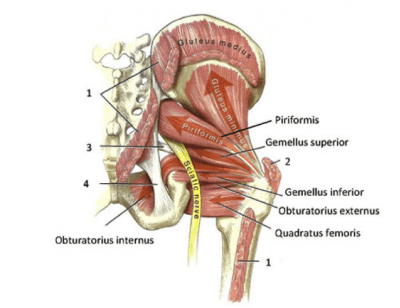 """Figure 5. Hip External Rotators, often called """"deep hip rotators"""". Note the obturator internus, which can often be implicated in hip labral tear rehab and recovery."""