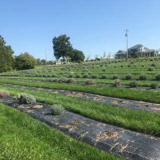 Long Row Lavender Farm Missouri