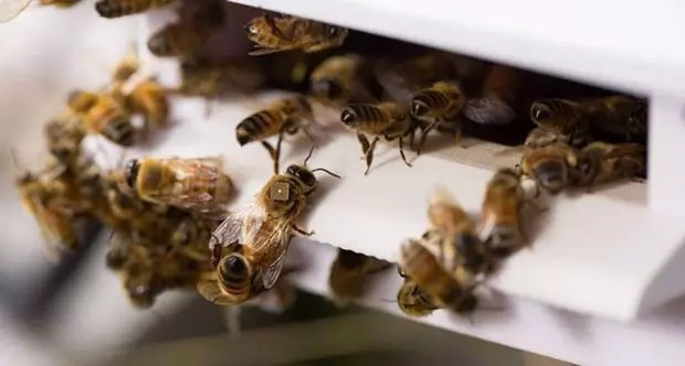 Mini-Capteur sur le dos des abeilles