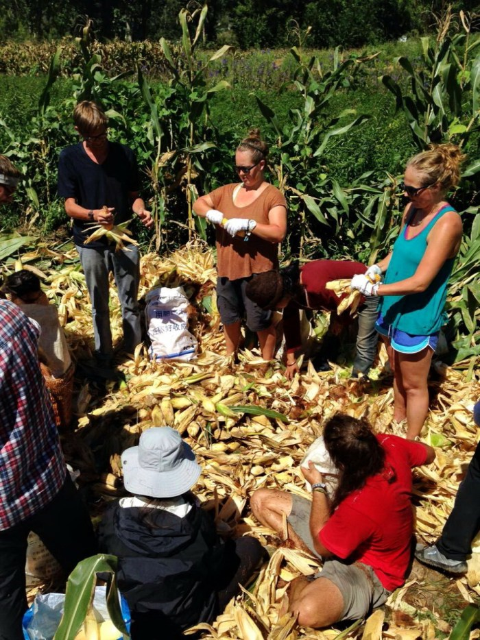 Students help with corn harvest - Shaxi Yunnan China