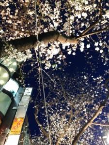 咲き始めの夜桜