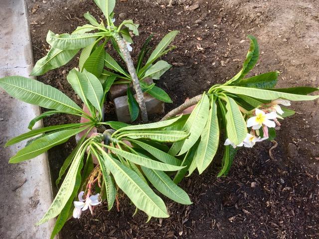 プルメリアの植樹