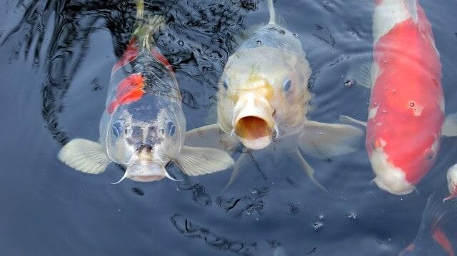 koi fish how to take care
