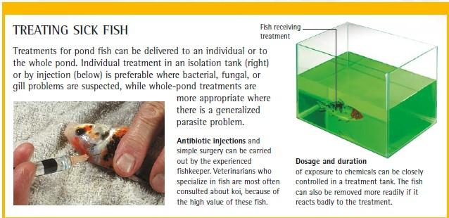 treating sick koi fish