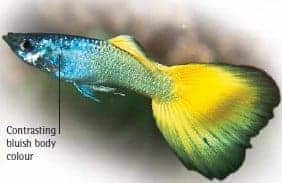 types of guppies german yellow guppy