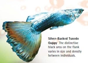 silver backed tuxedo guppy
