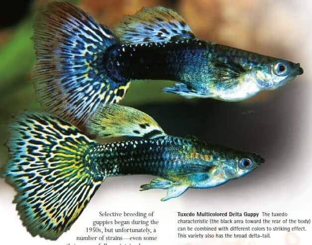 tuxedo multi colored guppy fish