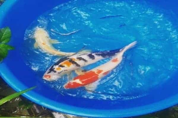 koi breeding