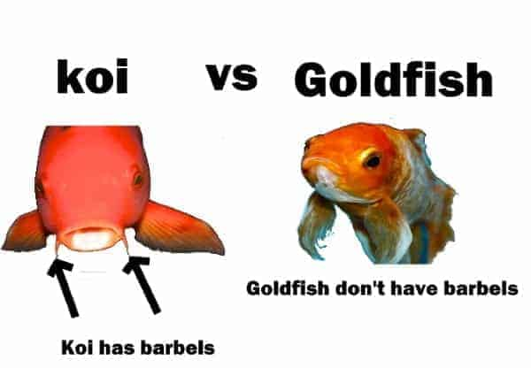 koi vs goldfish