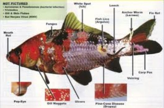 koi diseases diagnosis and treatment you need to know