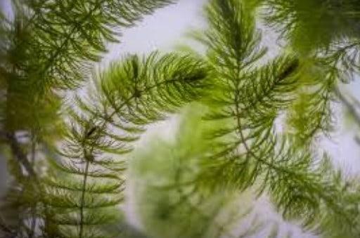 koi pond plants hornwort