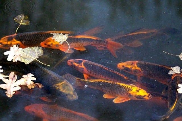 types of koi ghost koi fish