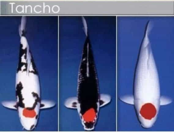 types of koi tancho koi