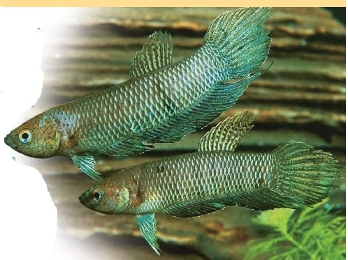 How to Catch Wild Betta Fish successfully in the wild