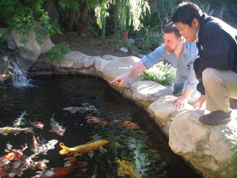 koi to the world  selling koi fish big business