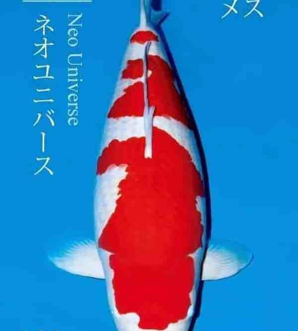 most expensive koi fish New World Record 203Million Yen 101cm Sakai Kohaku – S Legend