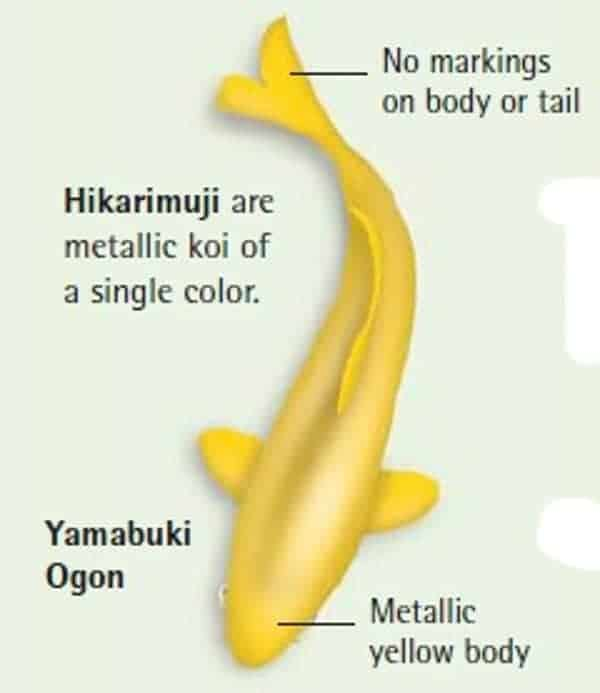 koi fish color meaning chart yamabuki ogon