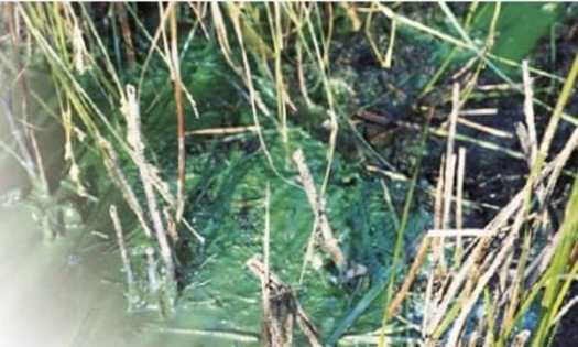 algal bloom pond maintenance