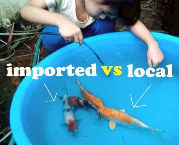 japanese koi vs local koi you need to know