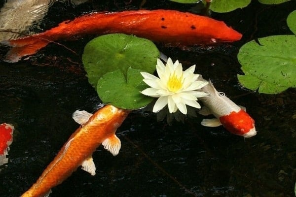 koi fish in lily pond all about koi fish