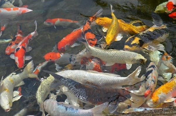 how to care for koi fish you need to know