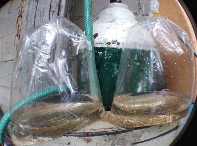 daphnia culture for sale