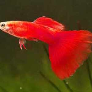 guppies for sale philippines