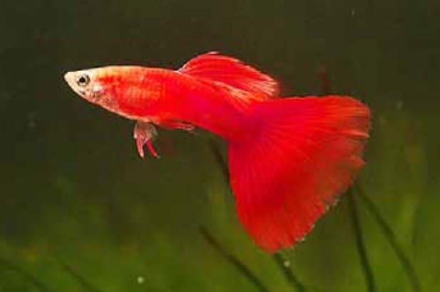 afr guppy albino full red guppy for sale