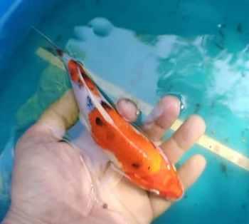 8 inch kin sanke koi fish for sale