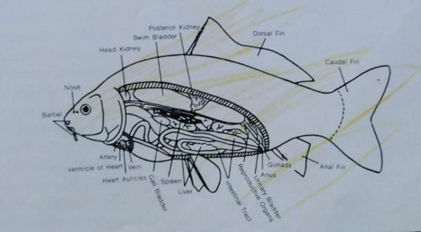 koi fish anatomy