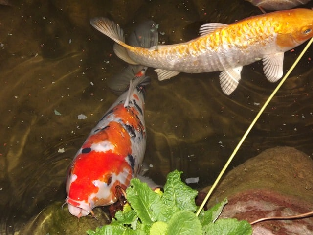 koi pond problems