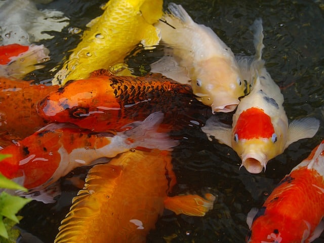 An Introduction To Koi Ponds