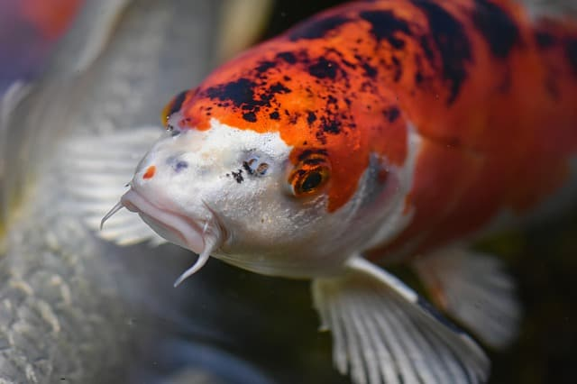 koi fish face