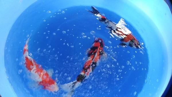 how often do koi fish lay eggs