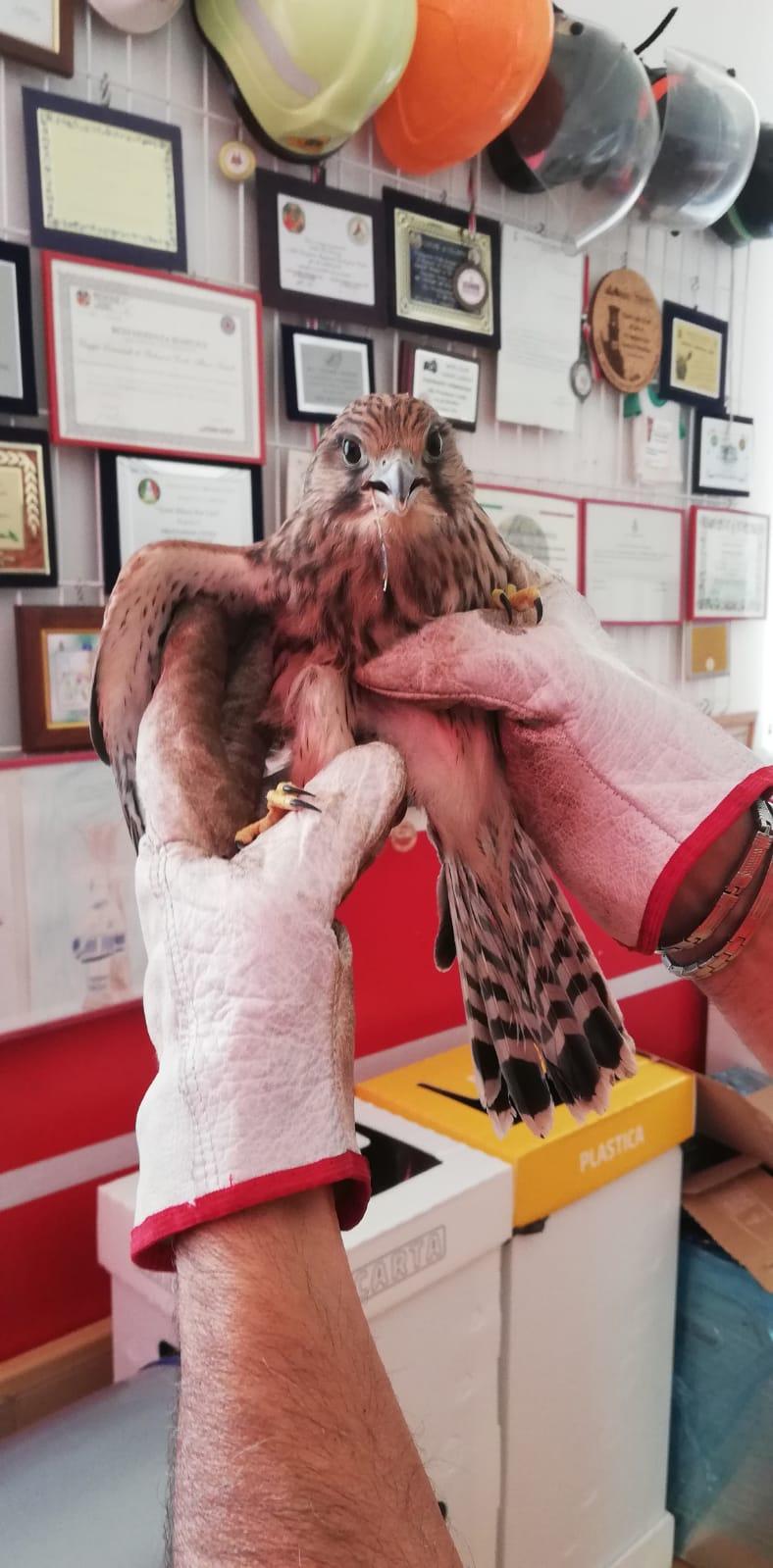 Albano, recuperato un gheppio che non riusciva a volare