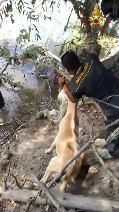 Roma, Vigili del fuoco salvano una capra impigliata a ridosso del fiume Tevere
