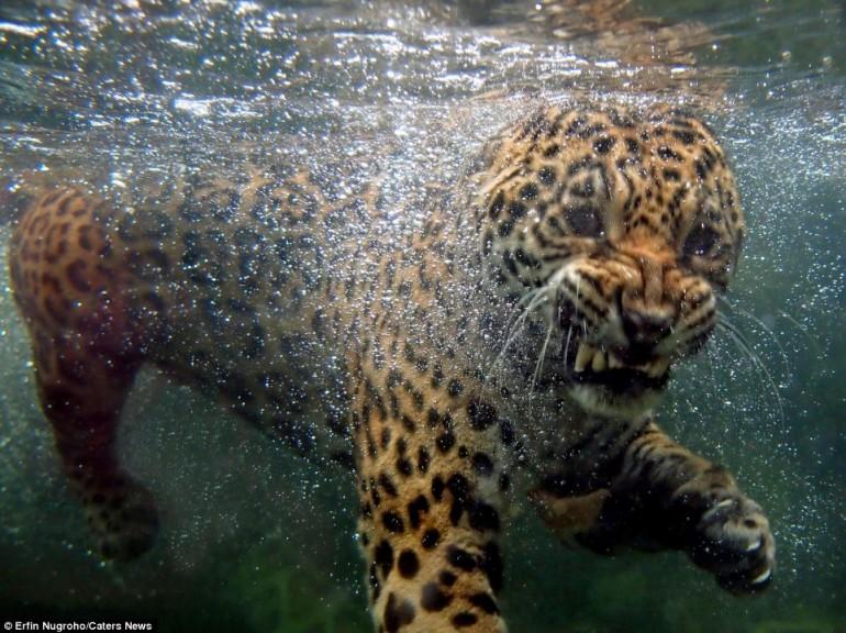 https://i1.wp.com/www.giornalettismo.com/wp-content/uploads/2012/04/giaguaro-acqua-01-770x576.jpg
