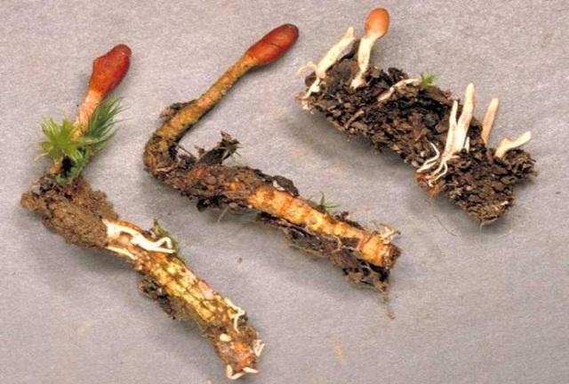Ακόμη ένα θαύμα της Φύσης!Πολύτιμο βότανο που αντιμετωπίζει σωρεία ασθενειών ΚΑΙ αυτοάνοσων!