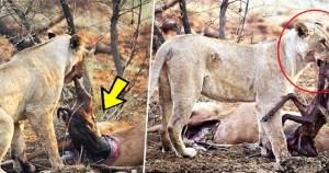 Λιοντάρι τρώει ελάφι που ήταν έγκυος και αυτό που κάνει στη συνέχεια ξεπερνά κάθε λογική