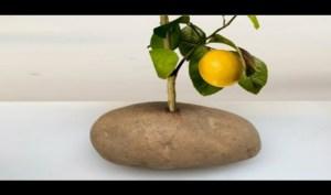 Καρφώνει Ένα Κλαδί Λεμονιάς Στην Πατάτα Και ΔΕΙΤΕ Τι Γίνεται! -ΒΙΝΤΕΟ